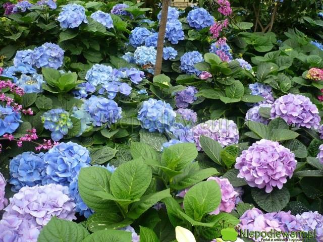 Hortensje ogrodowe kwitną bardzo obficie. Ich kwiatostany są często kuliste, jak duże pompony. Fot.Niepodlewam