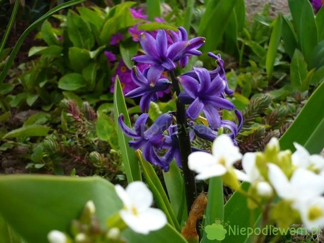 Hiacynty zaczynają kwitnąć wkwietniu (IV). Fot.Niepodlewam