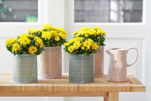 Chryzantema jest uprawiana najczęściej jako kwiat jednoroczny wdonicach. Nadaje się też dosadzenia wgruncie. Fot.Niepodlewam