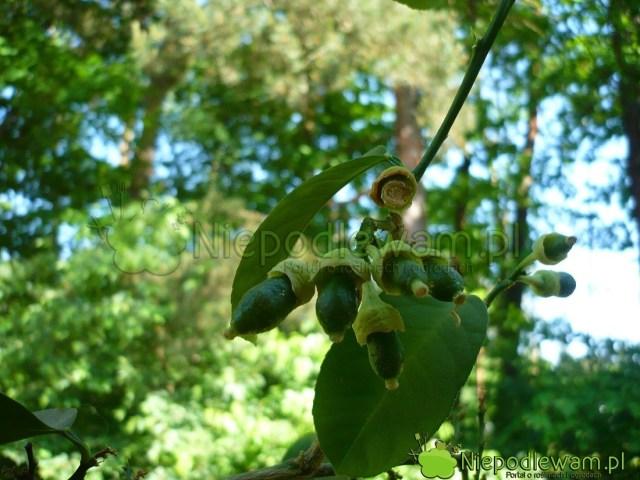 Cytryny zawiązują zwykle bardzo dużo owoców. Najczęściej niesą wstanie ich wykarmić. Większość opada. Fot.Niepodlewam
