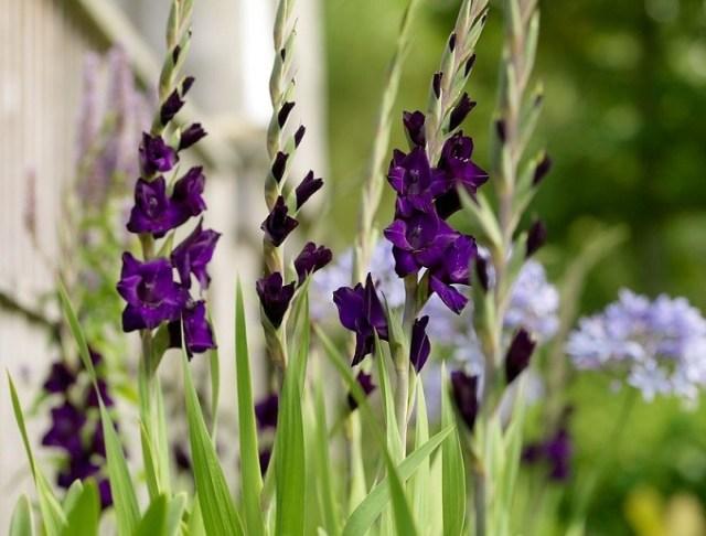 Niebieskie mieczyki Purple Mate. Fot.iBulb