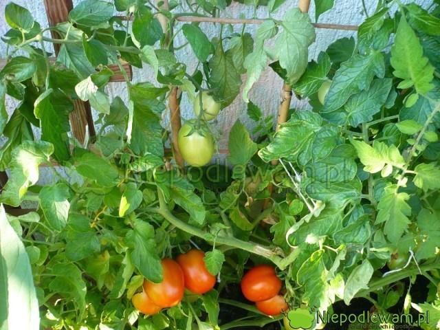 Mieszko toniska odmiana pomidora. Dorasta dookoło 100 cm. Fot.Niepodlewam