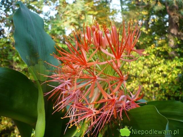 Krasnokwiat Katarzyny kwitnie naczerwono. Kwiaty są drobne, zebrane wkwiatostan. Toroślina łatwa wuprawie. Fot.Niepodlewam