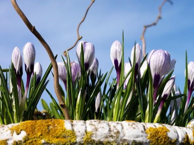 Krokusy wiosenne Pckwick mają ciemne nasady kwiatów. Fot.iBulb