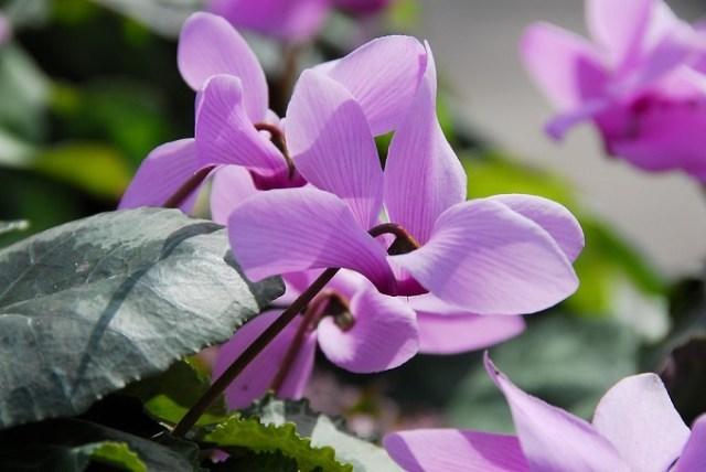Nawożenie cyklamenów doniczkowych niejest trudne. Wykonuje się je wczasie kwitnienia, czyli późną jesienią lub zimą. Fot.iBulb