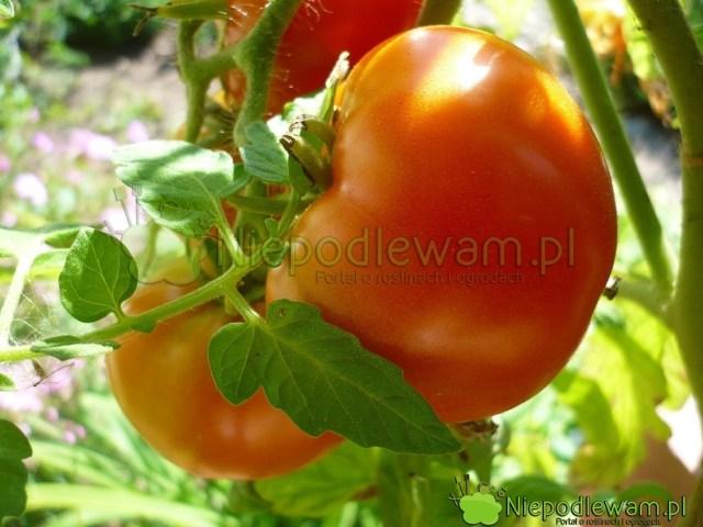 Pomidor Babinicz tokarłowa odmiana. Ma czerwone owoce. Fot.Niepodlewam