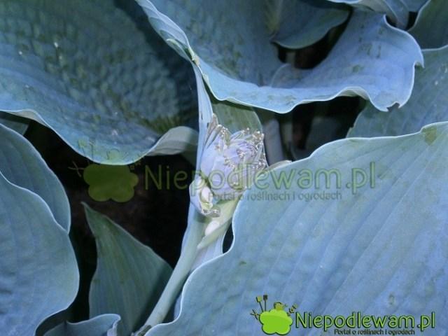 Kwiaty funkii Big Mama są białe. Zaczynają się pojawiać napoczątku czerwca (VI). Fot.Niepodlewam