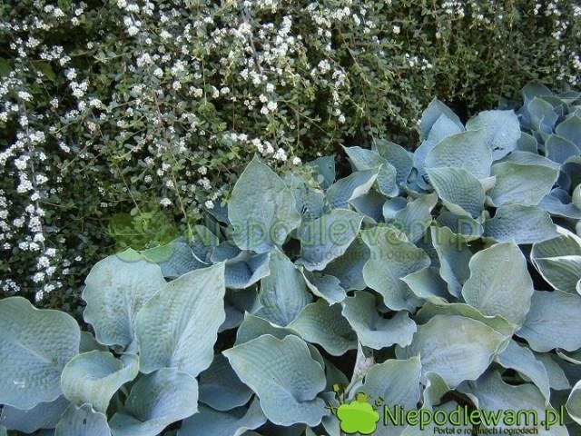 Funkie Big Mama są świetne wroli tła dla innych rośliny, np.irgi. Fot.Niepodlewam