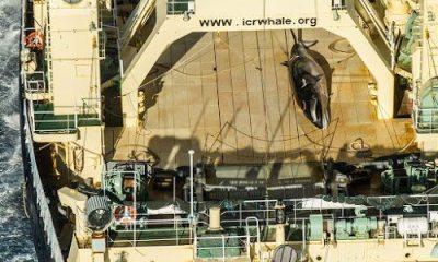 walvis op Noorse walvisjacht boot