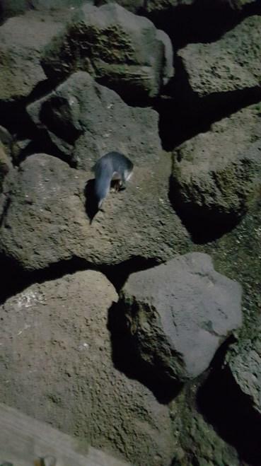 Little penguin St Kilda Pier