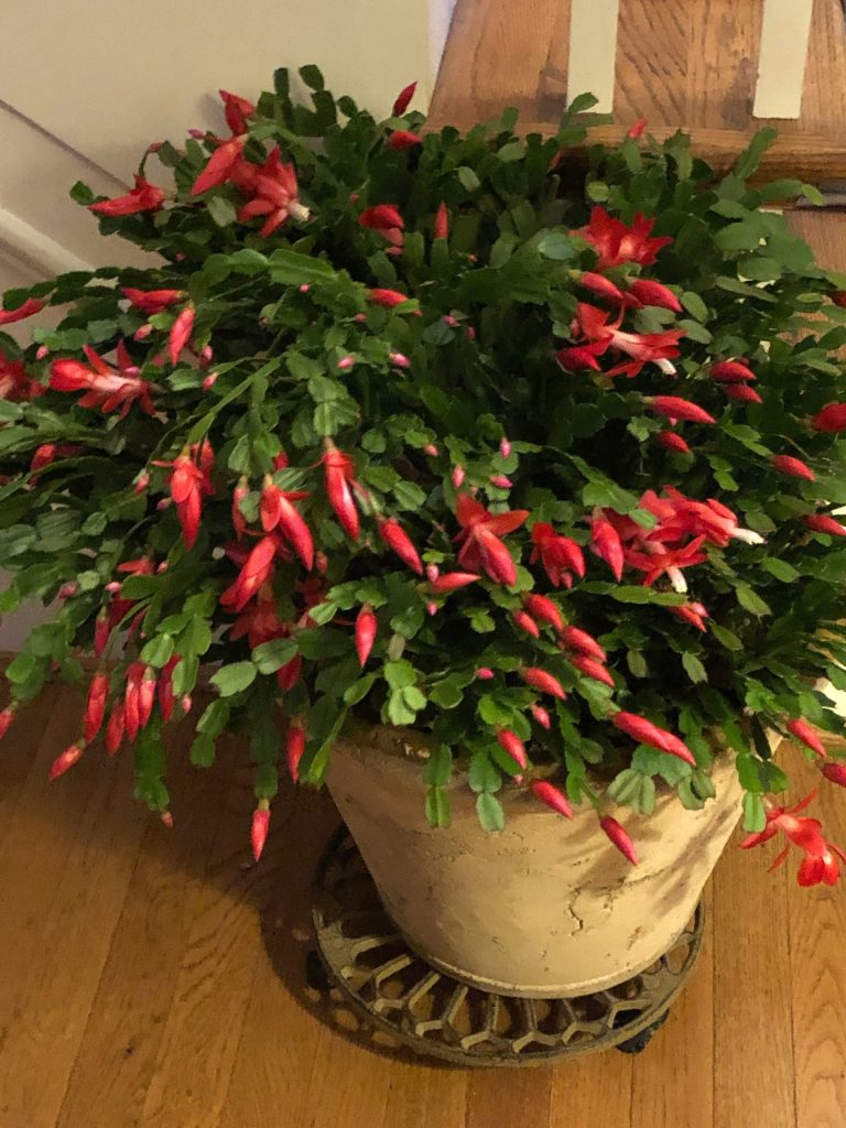 My Christmas Cactus Is Ready To Put On A Show