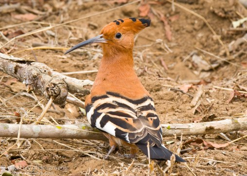 This is possibly my favorite bird in Africa. They are just such beautiful birds and so unusual - especially the way they fly!