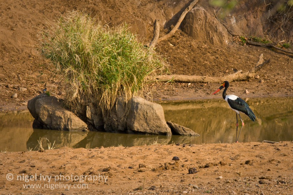Nigel Ivy Photography - A very chilled Saddle-billed Stork