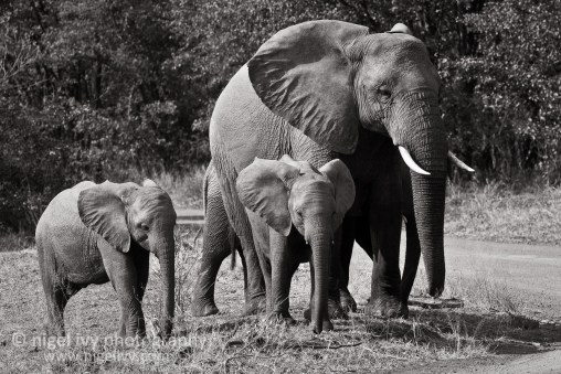 Nigel Ivy Photography - GENTLE GIANTS OF THE KRUGER PARK
