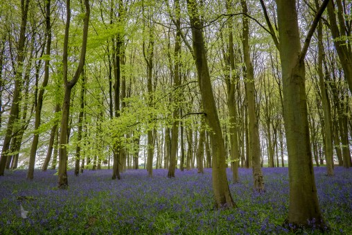 I love this time of year where we see growth of new things from seeds, but we also see growth in things that have laid dormant for a season. I took this photograph recently in a beautiful bluebell forest called Badbury, in the south of England.