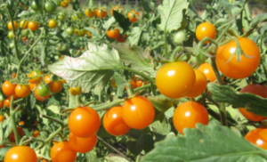 tomato farming in nigeria