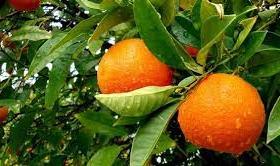 Orange Farming in Nigeria: Step by Step Guide