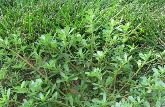 nigerian weeds and botanical names