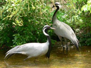 Demoiselle crane Grus Virgo-
