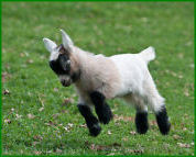 Baby pygmy goat flying in the pasture