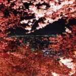 桜夜風<神奈川>