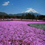 富士芝桜祭り<山梨県>