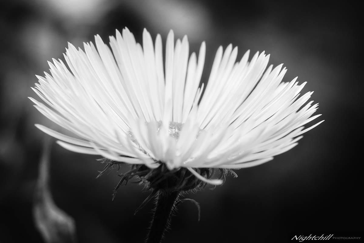 черно бяла фотография цветя