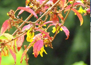 Forsythia's unusually brilliant leaves and autumn flowers