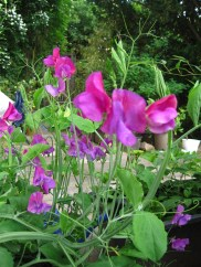 Sweetpeas -- my daughter's favourite!