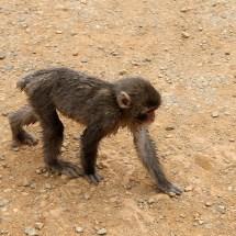Wieso der Schwanz des Affen kurz ist