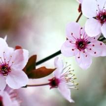 Erste Kirschblüten in Fukuoka und Nagoya