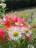 Poppy Sunday (2)