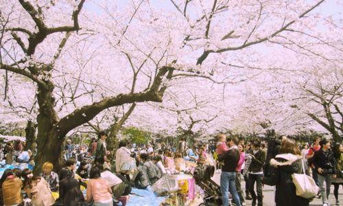 Hanami au parc Yoyogi