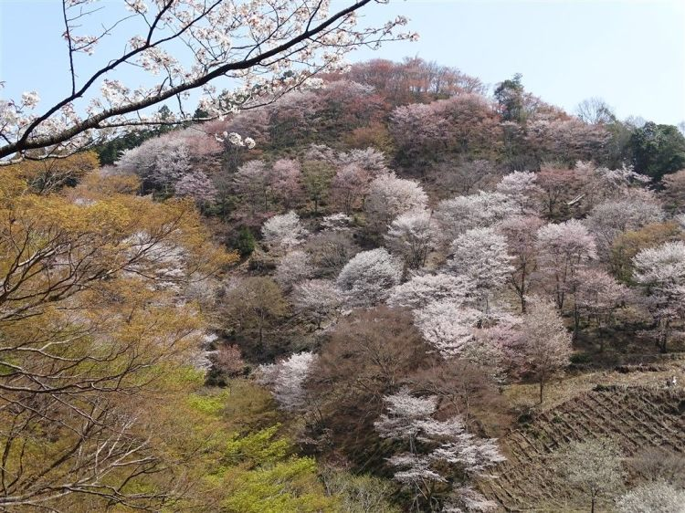 Des arbres à Sakura