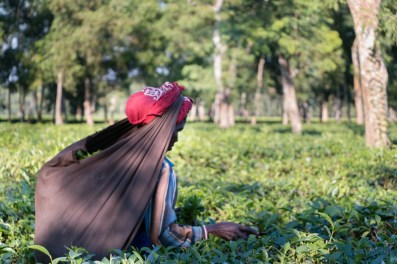 Picking Tea Leaf