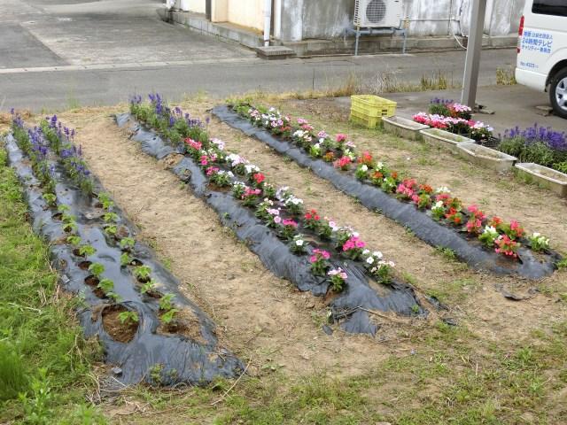 季節の花の苗植え2018-11
