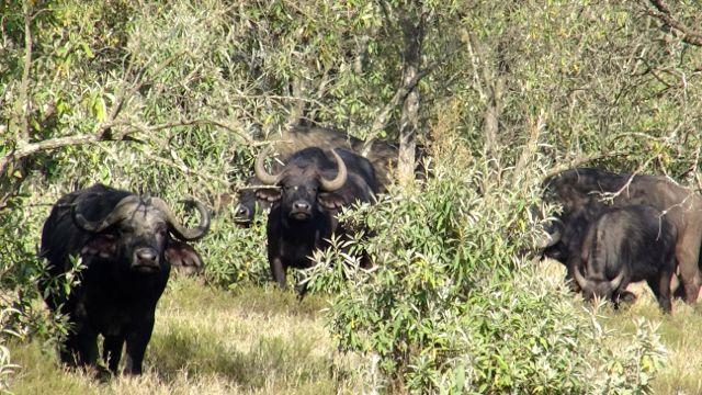 The evil eyed buffalo
