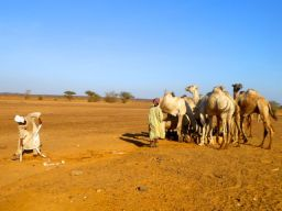 Camels drinking at the wells