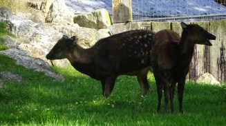 Phillippine Spotted Deer