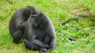 Sulawesi Black Headed Macaques