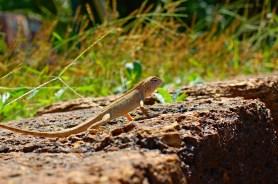 DSC_2064_KEP_Lizard_WEB