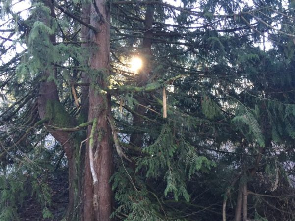 シアトルの木
