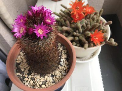 サボテンに花