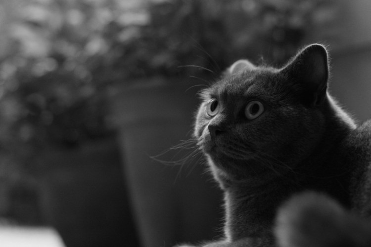 grown-up british shorthair kitten