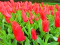 Tulips at the Keukenhof, The Netherlands
