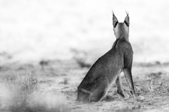 Caracal looking out over her domains