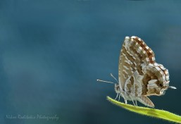 Cacyreus marshali Lycaenidae