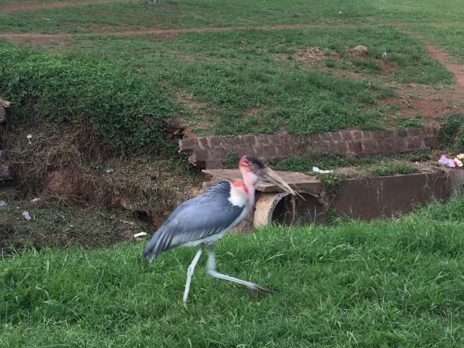 Ein Marabu Storch mitten in der Hauptstadt!