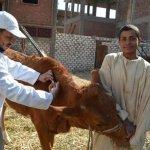 «الزراعة»: تحصين مليوني رأس ماشية ضد «الحمي القلاعية»