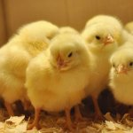 «الزراعة» توافق على تصدير «كتاكيت بياض  » إلى الخارج